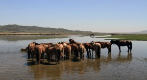 Horses bathing in the river.