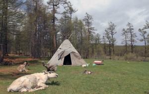 The reindeer resting near the teepee.