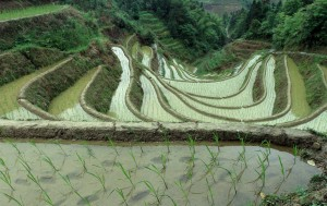 The rice terraces at Da Zhai following the contours of a draw.