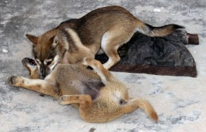 One puppy dominating another during a playful spat.