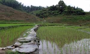 Stone path between the rice paddies.