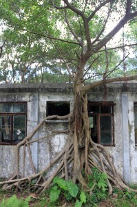 A tree that has rooted itself to a derelict home along the way to the Wisdom Path.