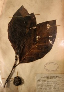 Regional plant specimen collected by the National Museum.
