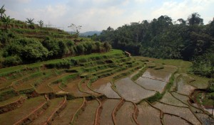 More rice paddies along the train tracks in Indonesia.
