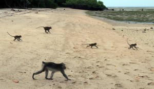 Monkeys walking out to sea on Bama Beach.