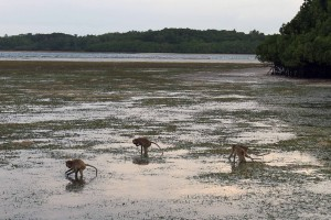 Monkeys searching for small fish and other food during low tide.