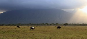 Water buffalo grazing on the savanna in the late afternoon.