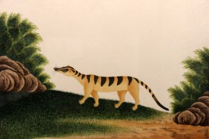 Nature study painting of a Banded Palm Civet.