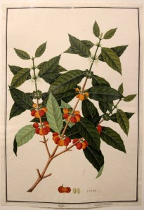Nature study painting of a coffee plant.