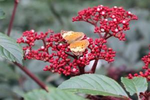 Butterfly sucking sweet nectar.