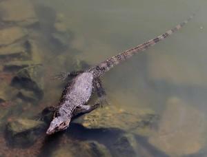 Giant lizard sunbathing in the Melaka River.