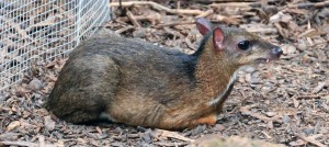 "A mouse-deer (""Chevrotain"")."