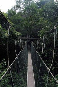 The canopy walk in the rainforest.