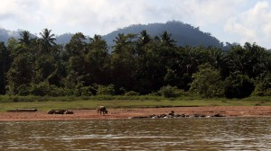 Water buffaloes in and along the river.