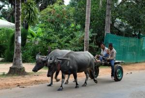 Water buffalo pulling a cart near Angkor.