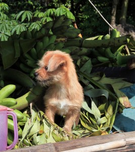Puppy playing around bundles of bananas on a boat.