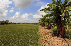 Rice paddy with vegetables and banana trees on the right.