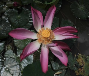 Lotus flower in bloom.