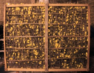 Yellow silkworm cocoons attached to many sticks in this rectangular piece.