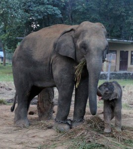 Elephant and five-day old calf in the government-run stables.