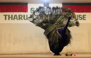 Peacock dance.