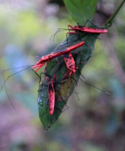 Red cotton bugs.