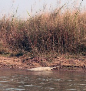 A gharial, with its long and thin snout, seen on the river bank.