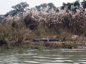 another mugger crocodile.