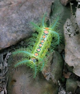 Poisonous caterpillar - a real work of art.