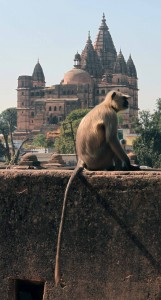 Monkey on the wall of Orchha Fort.