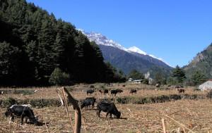 Cattle grazing in the fields.