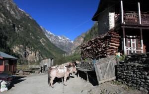 Horses saddled up in Talekhu.
