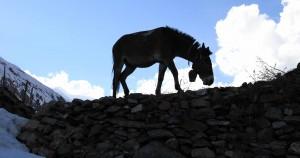 A mule grazing near Khangsar.