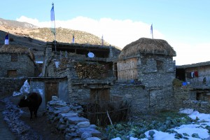 Cabbage patch and stone buildings in Khangsar.