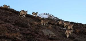 Herd of Himalayan tahrs.