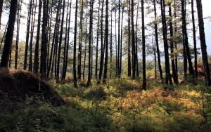 The woods near Chhoya.