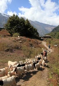 Herding goats out of Chhoya.