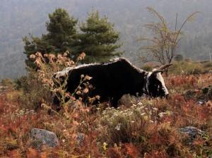 Cow in the field near Kalopani.