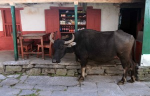 Cow checking out a convenience store in Kopchepani.