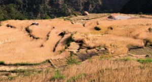 Rice being harvested in the terraced fields below.