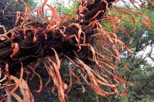Epiphytes on a tree, along the trail toward Ghorepani.