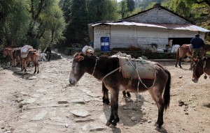 Pack mules - looking in to their eyes is like looking in to a slave's eyes - there is no hope, no love, and no peace.