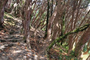 Walking through the rhododendron forest.