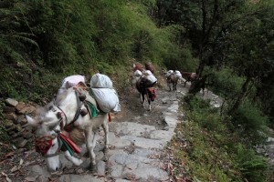 Pack mules wearing bells, marching up the stone steps toward Ghorepani.