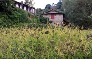 Millet crop in Ghandruk.