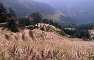 Terraced fields in Ghandruk being harvested.