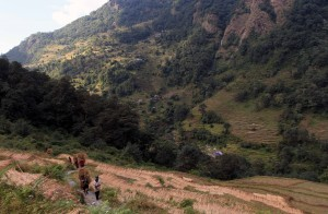 Locals carrying bundles of harvested rice up to Landruk.