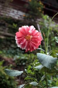 Flower along the trail in Landruk.