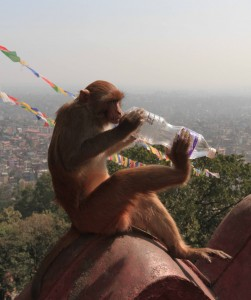 Monkey biting in to the bottom of a water bottle to drink its contents.
