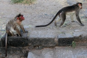 Monkeys in Daulatabad Fort.